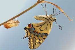 053-crisalide-farfalla-1-TL